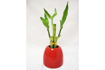9GreenBox - Lucky Bamboo - Red Ceramic Pot