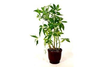 9GreenBox - Hawaiian Umbrella Schefflera Tree - Ceramic Pot