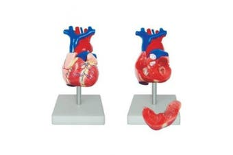 66FIT Anatomical Life Size Heart Model