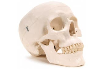3B Scientific Plastic Human Skull Model, 3 Parts, 20cm x 13cm x 15cm