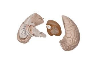 (Brain, 4-part) - 3B Scientific C16 4 Part Brain Model, 14cm x 14cm x 18cm